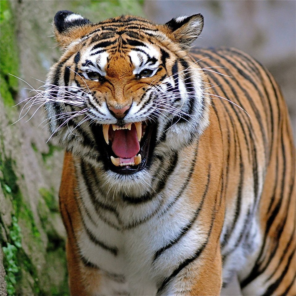 Apprenez à rugir comme un tigre !
